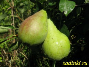 Сорт груши Перун