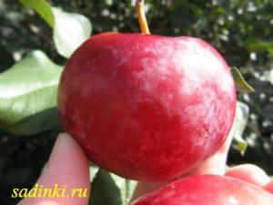Сорт яблони Алтайское зимнее