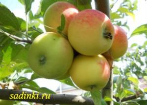 Сорт яблони Ардик