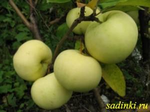Сорт яблони Феникс Алтайский