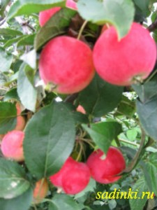 Сорт яблони Горно-Алтайское