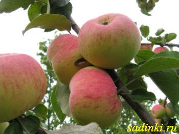 Сорт яблони Подарок Графскому 34