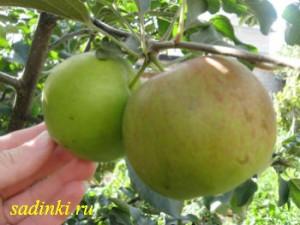 Сорт яблони Синап Северный