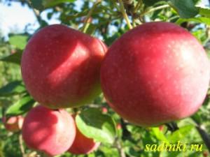 Сорт яблони Жар-птица