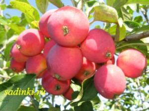 Сорт яблони Жебровское