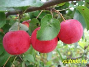 Сорт яблони Зимний шафран