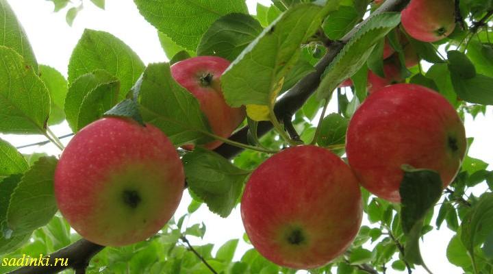 сибирский сорт яблоня незнакомка