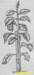Выращивание саженцев-однолеток