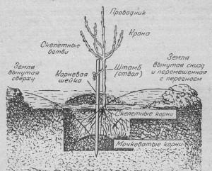 Техника посадки саженцев