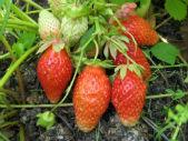 Купить саженцы земляники садовой