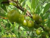 Купить саженцы вишни